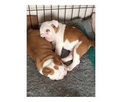 Kc Reg British Bulldog Female Puppies