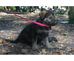 German Shepherd - AKC Puppies Available - Gorgeous Coloring