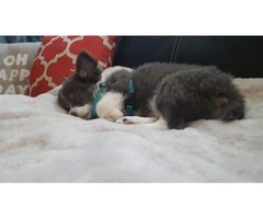 Tiny long hair chihuahua puppy