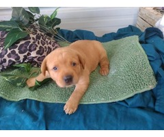 Akc fox red labrador retriever puppies