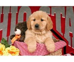 "AKC Golden retriever male pup ""Rex"""