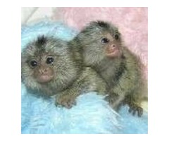 2 Marmoset Monkeys Ready for Adoption