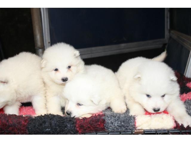 Reg Samoyde Puppies   free-classifieds-usa.com