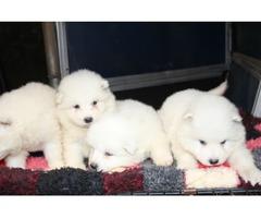 Reg Samoyde Puppies