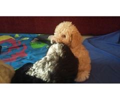 Standard Labradoodle Puppies By Holvic Dudley