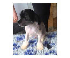 Registered Male Chinese Crested Puppy