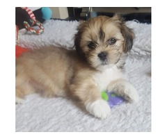 Gorgeous Pedigree Lhasa Apso Puppies For Sale.