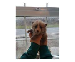 Tiny Pomsky Puppies