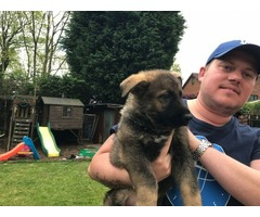 Working Shepherd Puppies Top Quality Lines
