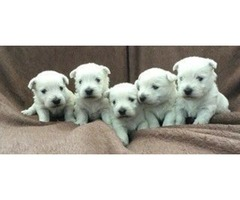 Lovely Litter Of Westie Pups For Sale.