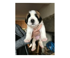 Huge AKc Full Pedigree Puppy (wgt 5.9kg At 5wks)