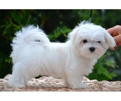 Lovely Male and female Maltese puppies ready for their new homes