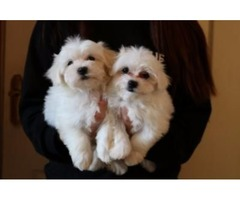 GORGEOUS! AKC REGISTERED MALTESE PUPS