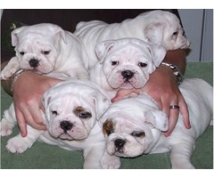 champion English Bulldog Puppies males and females for sale