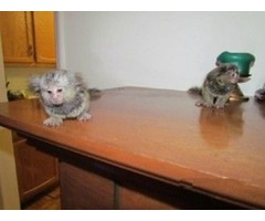 Two Affectionate marmoset monkeys for ready for adoption
