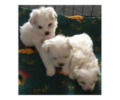 Supper Cute Micro Teacup Maltese  Puppies for sale,
