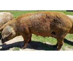 Sows, hog, hogs