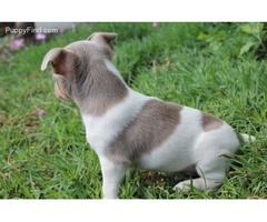 Teddy Roosevelt Terrier Pearl Tri Color Male and Female
