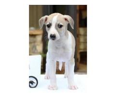 FLASHY white markings! Pups