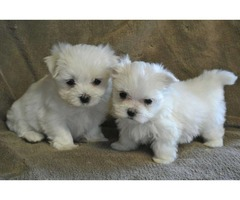 3 Maltese male puppies looking for a new home