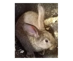 Flemish Giant Cross-breed Rabbits Easter Sale at Reduced Price
