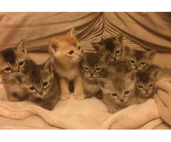 Beautiful Asian Kittens Gccf Registered Ready Soon