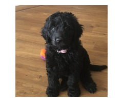 Gorgeous Black Goldendoodles - Ready Now!