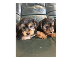 Yorkshire Terrier Puppies Ready Now