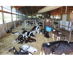 Holstein / Jersey, herford and angus heifers for sale