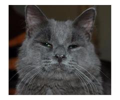 Lost Kitty | free-classifieds-usa.com