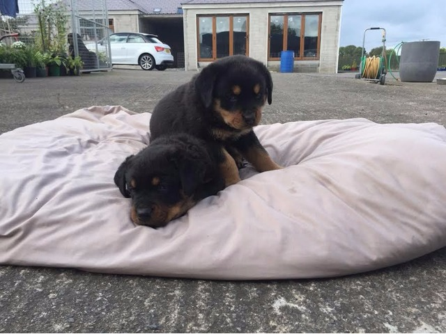Rottweiler Puppies For Adoption Animals Buffalo Missouri