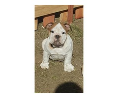 our trained english bulldog puppies for adoption now