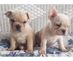 French Bulldog Male & Female Puppy
