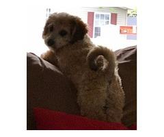 Bichpoo puppy