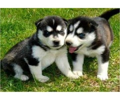 Siberian Husky Dogs and Puppies for sale