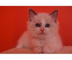 Gccf British Blue Kittens Share Tweet +1 Pin it