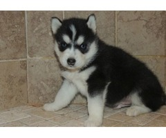Kc Registered Husky Pups Book Viewings Now Share Tweet +1 Pin it