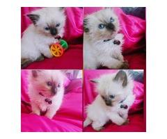 Stunning Gccf Reg British Shorthair Kittens
