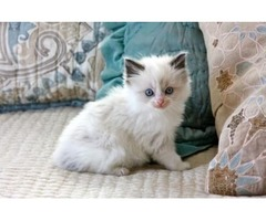 (6 generation pedigree can be given if requested) * GCCF ragDOLl kitty | free-classifieds-usa.com