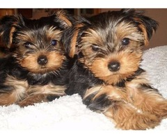 Very sweet and cute yorkie puppies