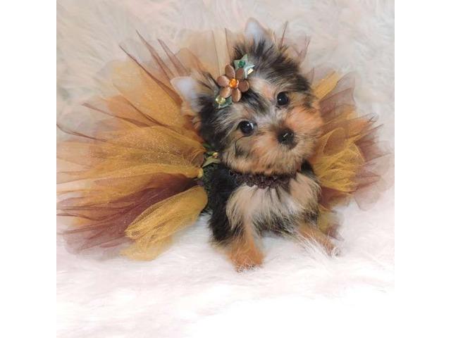 Toy Teacup Yorkie pups available - Animals - Brookside - Alabama