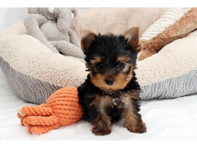 Tiny Toy Yorkie Puppies For Sale Animals Bay Saint Louis