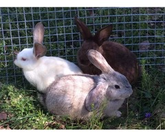 Rabbits New Zealand /other breeds