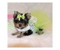 Affordable Teacup Yorkie pups