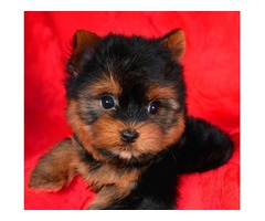 Healthy Yorkie's Puppies For Sale