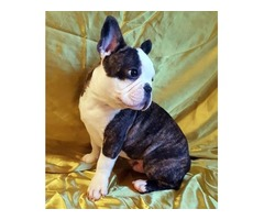 Imported Hungrian French Bulldog Adults & Puppies