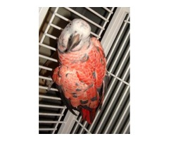 RED FACTOR AFRICAN GREY FEMALE FOR SALE $950