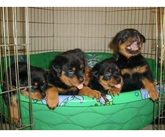 Male and female Rottweiler Pups