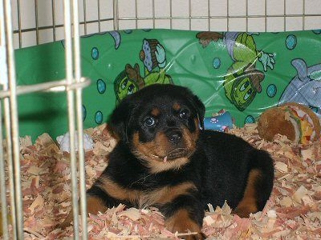 Male And Female Rottweiler Puppies Animals Houston Alabama