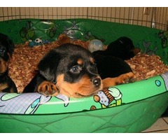 Cute Male and female Rottweiler Puppies